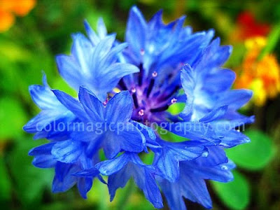 Blue cornflower picture-Bachelor's button