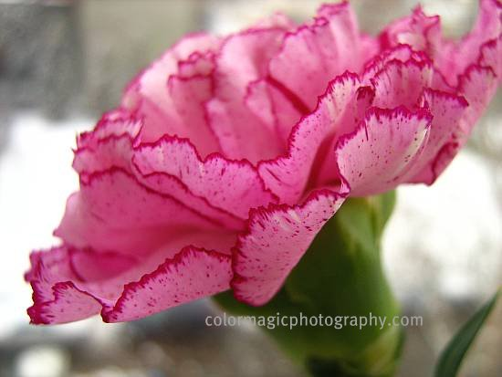 Pink-purple spotted carnation flower