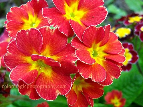 Red Primrose- primula flower photo
