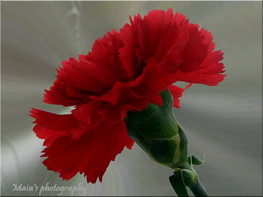 Red carnation flower macro-Dianthus Caryophyllus