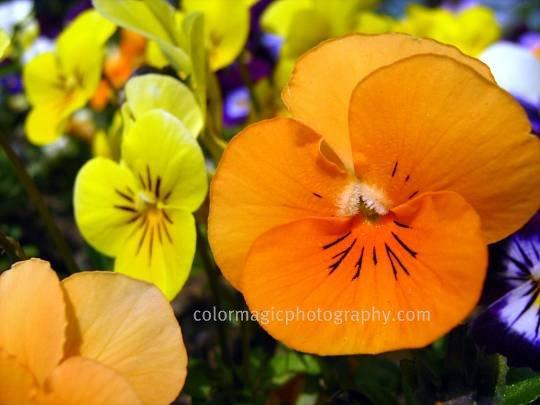 Orange pansy macro-viola wittrockiana