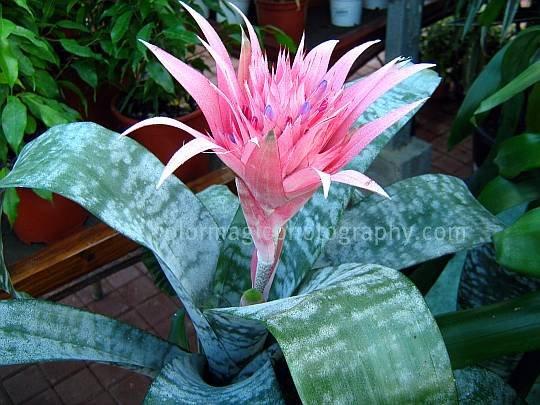 Aechmea fasciata-Silver Vase Bromeliad