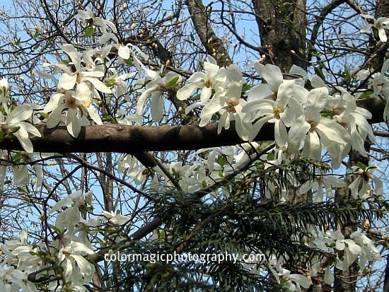 Star magnolia-Magnolia stellata picture