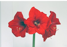 Amaryllis flower