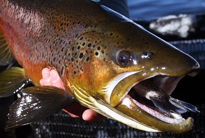 Vermont fly fishing what do big trout eat for What does fish eat