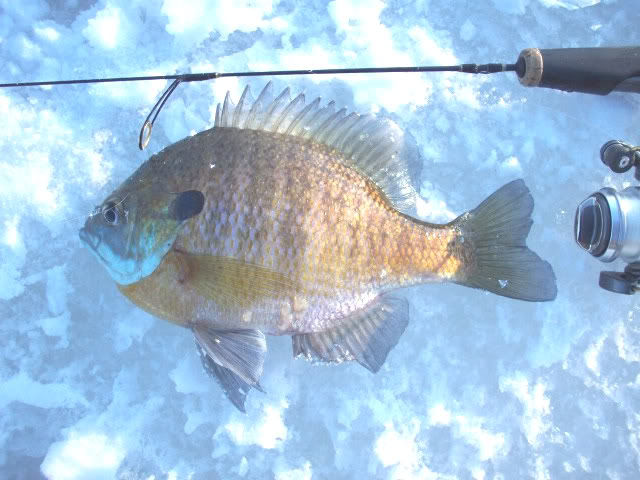Guided vermont ice fishing trips october 2010 for Ice fishing bluegill