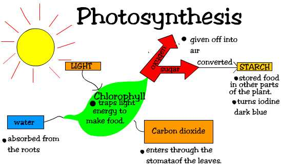 It is where chlorophyll in the leaves of the plant take in light from ...