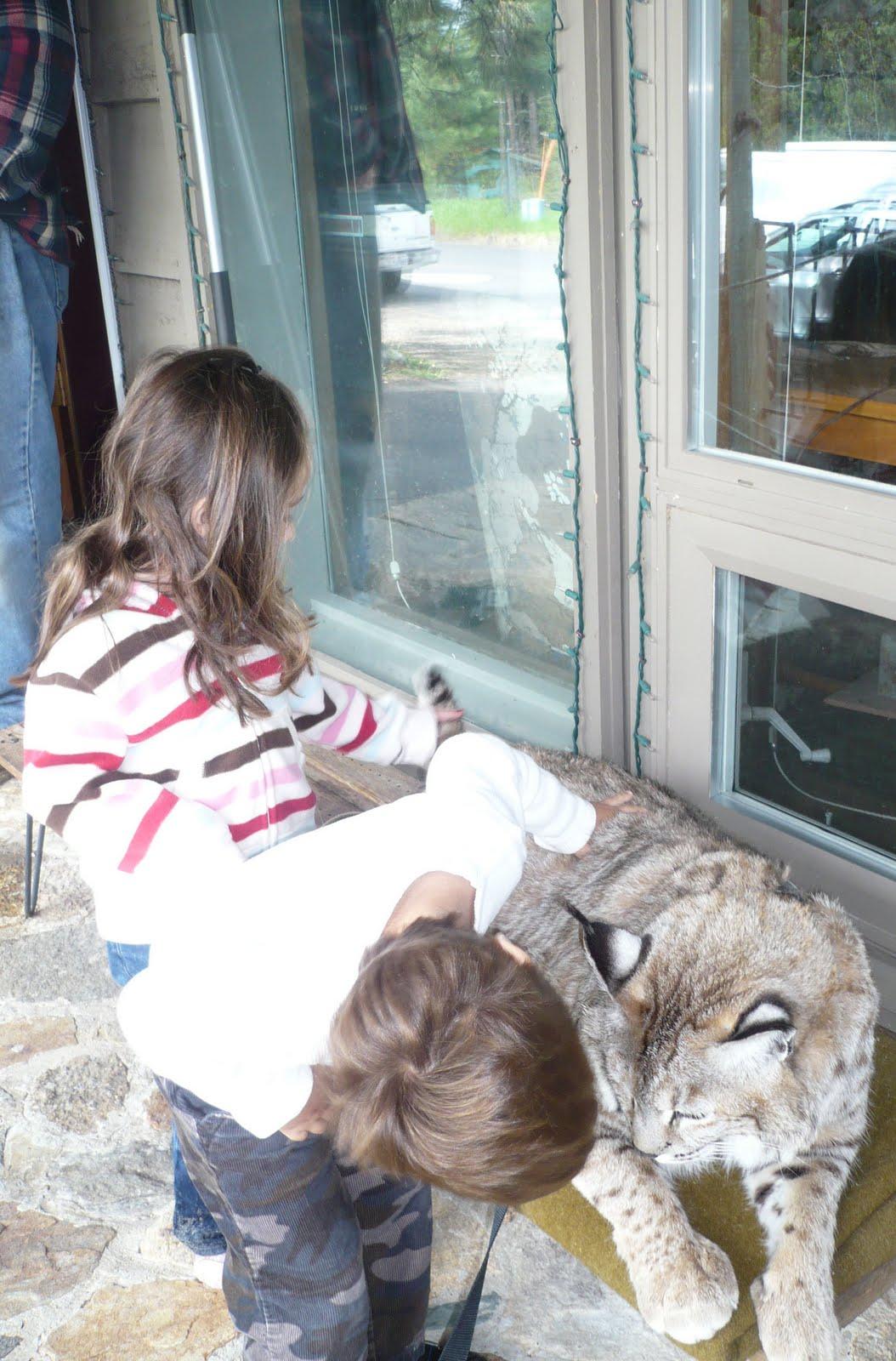 Bobcat pet - photo#12