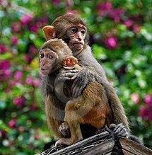 Macacos Sangui