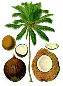 Coconut and Its Uses [1]
