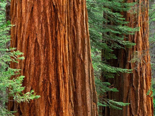 مخلوقات تعيش لأكثر من 3000عام Sequoia_5206600785_039f0c4d07_b