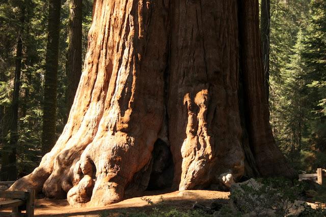 مخلوقات تعيش لأكثر من 3000عام Sequoia_0266640963738b_o