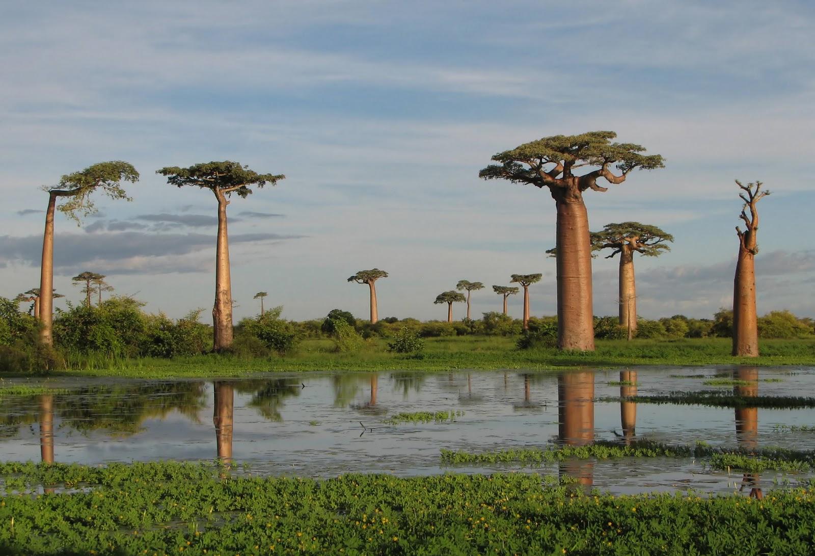 أشجار باوباب baobab جذورها في السماء