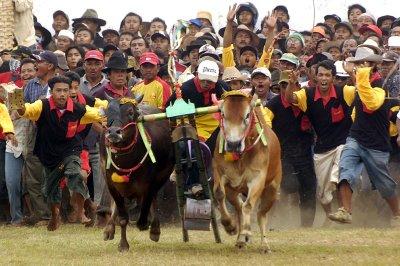 Une course de karapan (ou kerapan) sapi à Sumenep. Les sols de Madura étant très pauvres, ses habitants se sont rabattus sur l'élevage, notamment de bovins (Sumenepku/www.blogspot.com).