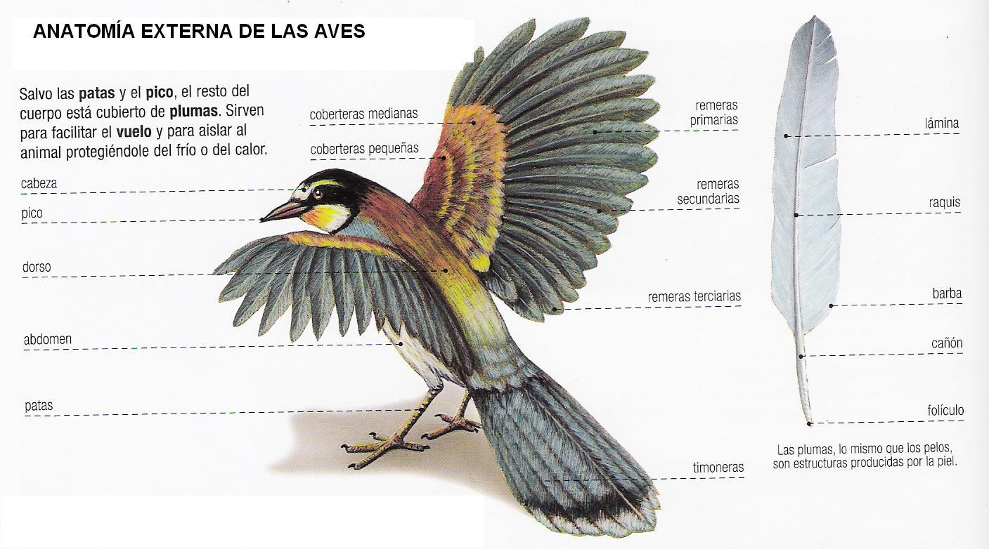 CIENCIAS NATURALES: ESQUEMA DE LAS AVES