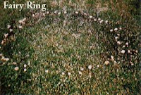 Fairy Ring disease caused by soil borne fungus. DT landscaping san diego county