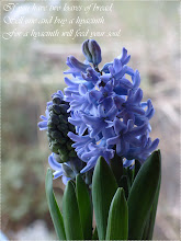 Blue Hyacinths ...