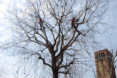 Potatura alberi a venezia