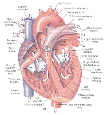 Basic Cardiology Part I Paramedicine 101
