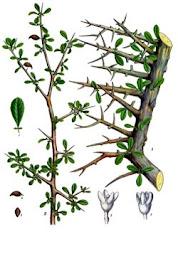 Morhabshi Herba Arab