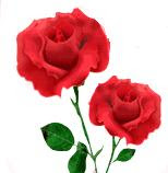 Red-rose-to-wish-Happy-valentine-day