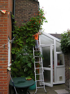up a ladder harvesting green beans growing up side of house