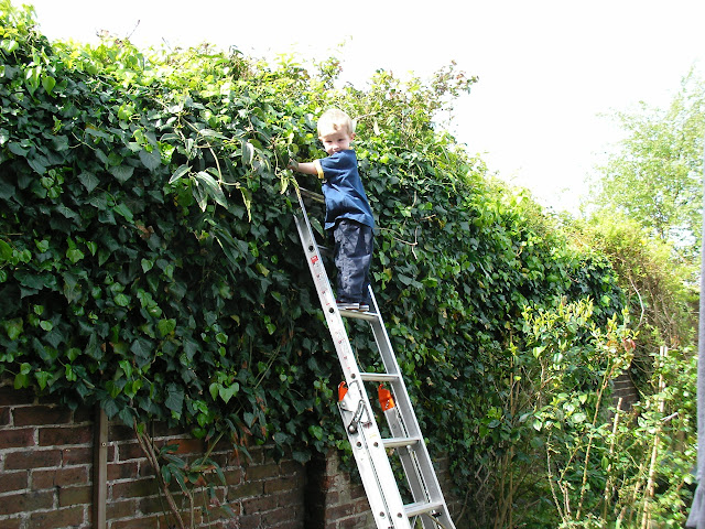 child climbing ladder to look over wall, pruning ivy