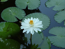 My Water Lily