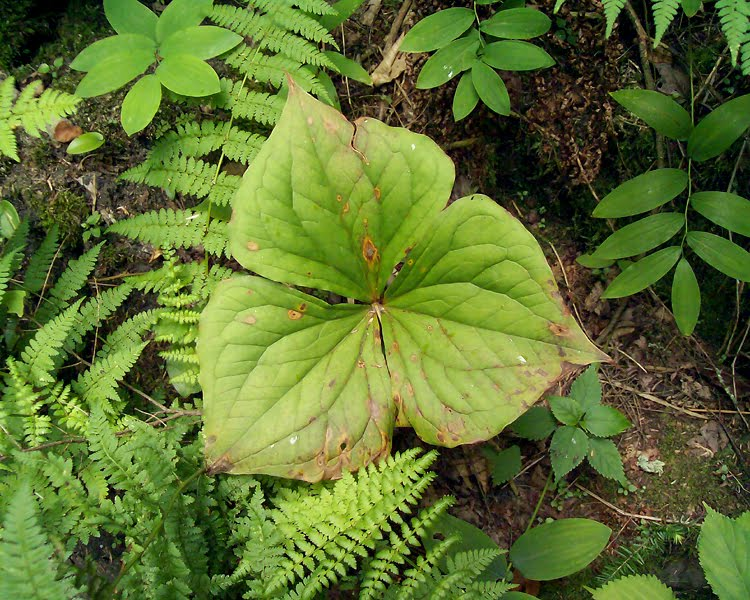 Kildoo Trail - Trillium