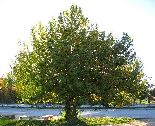 Çınar Yaprağı