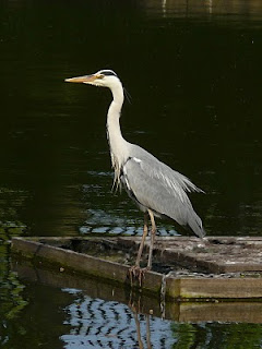 Grey Heron, Greenbank Park