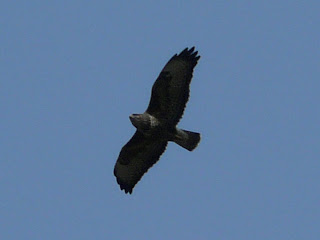 Common Buzzard, Hale Woods