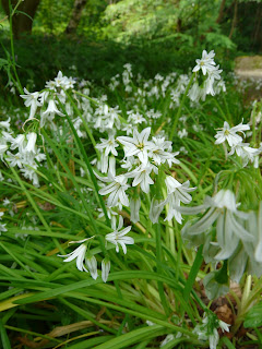 Three-Cornered Garlic, Calderstones Park