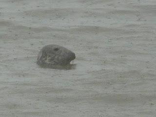 Grey Seal, Hilbre Island