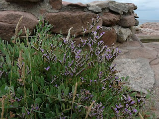Rock Sea Lavender, Hilbre Island