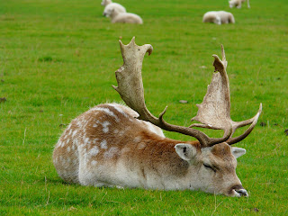 Fallow Deer, Tatton Park