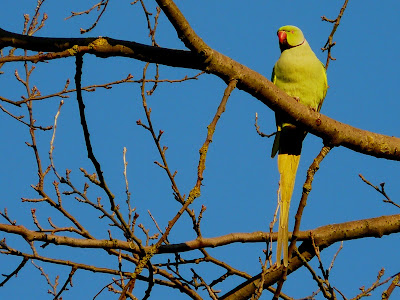 Ring Necked Parakeet, Lytham Crematorium