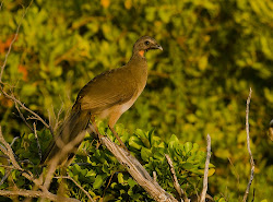 Chachalaca is a bush turkey that lives in Mata