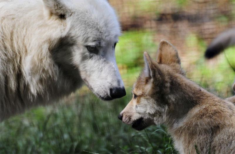 Wolfsgeschwister, 2012