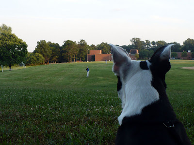 Two Found Boston Terriers