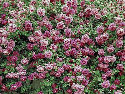 flowers wallpapers roses. wallpaper White Roses Flowers