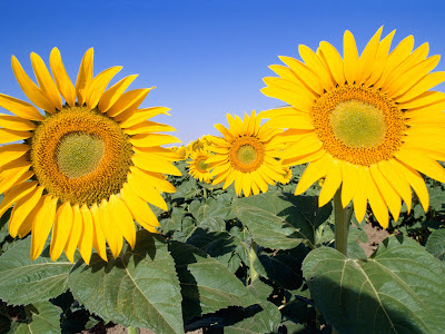 sunflowers wallpaper. sunflowers wallpaper.