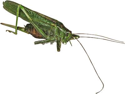 En gräshoppa - eller en vårtbitare - med ett trasigt ben samt nåt grått under sig.