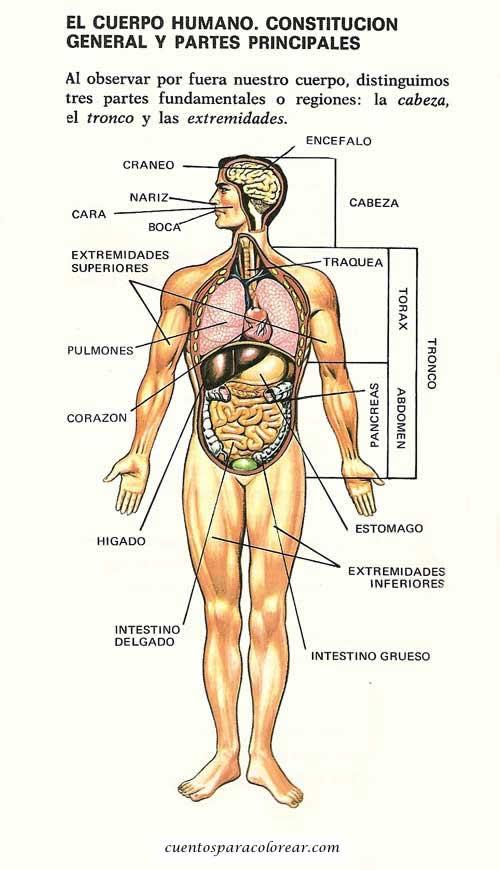C mo somos - Interior cuerpo humano organos ...
