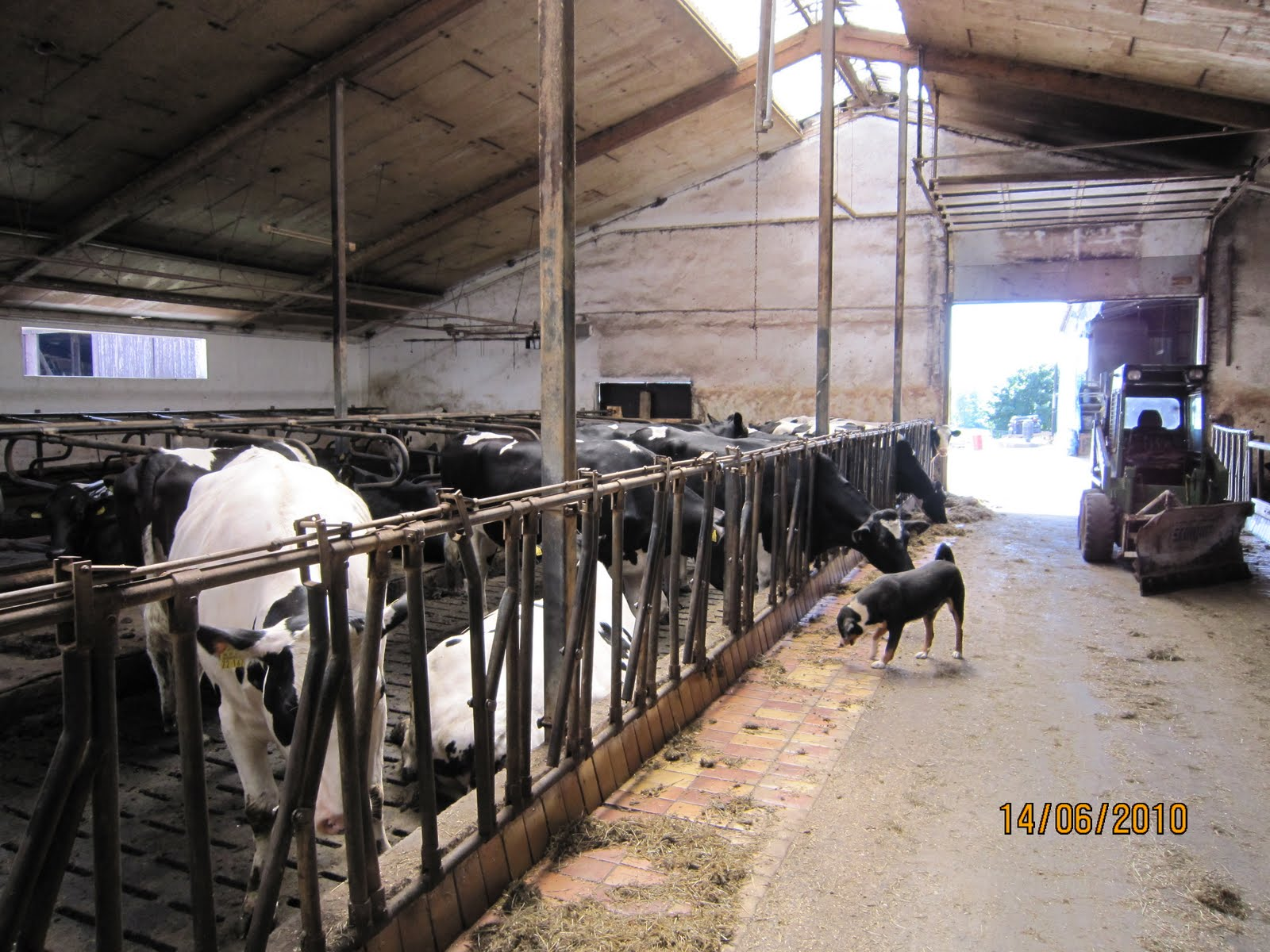 Inside An Older Dairy Barn Now Area For Heifers