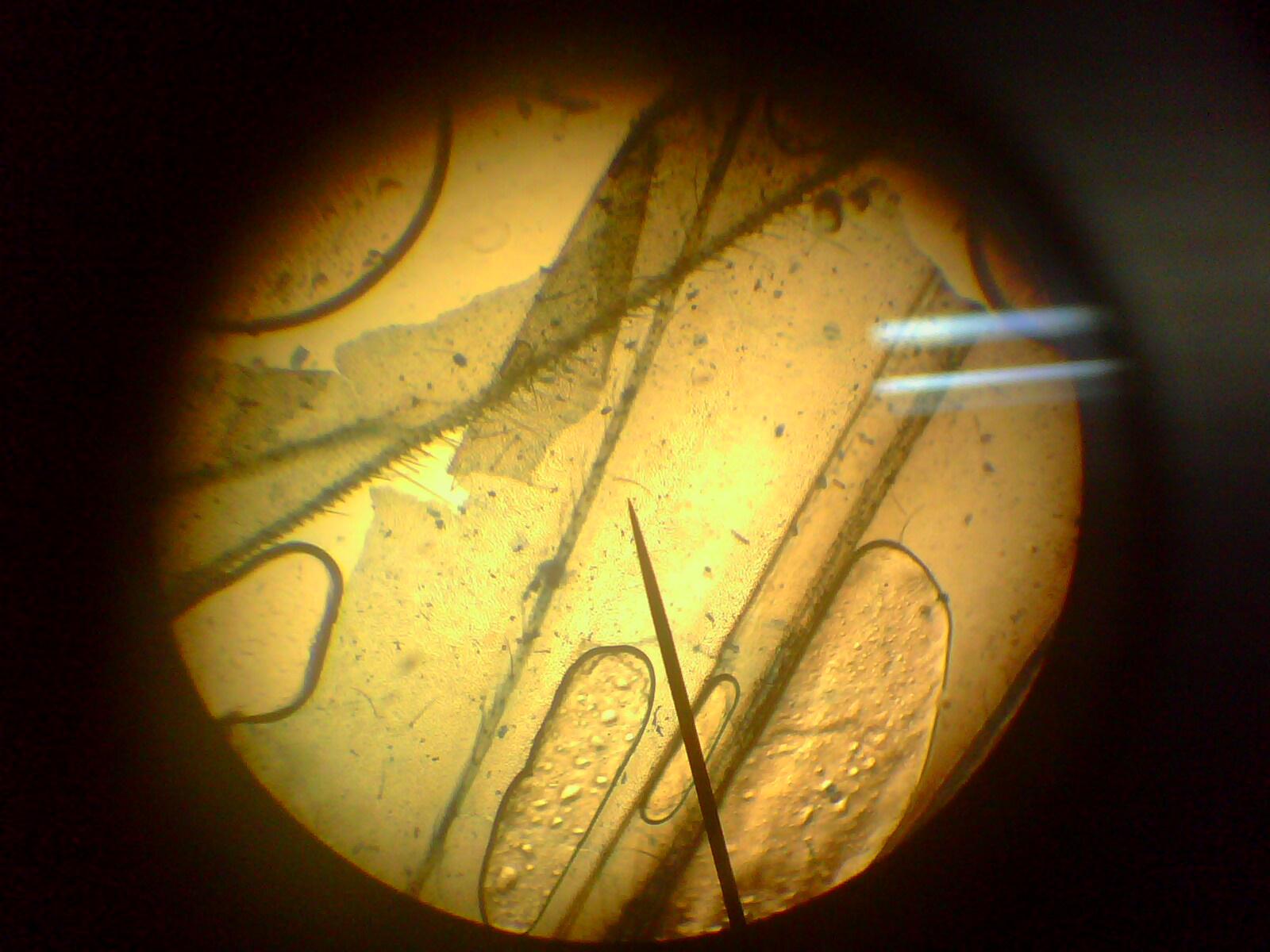 ACIPI \'04: Practica mesa 2:Identificaciòn de celulas eucariota y ...
