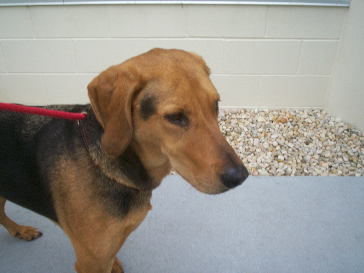 Greyhound Beagle Mix | Dog Breeds Picture