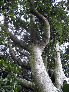 Tree branches - New Zealand - Photo from Wikimedia is in the public domain