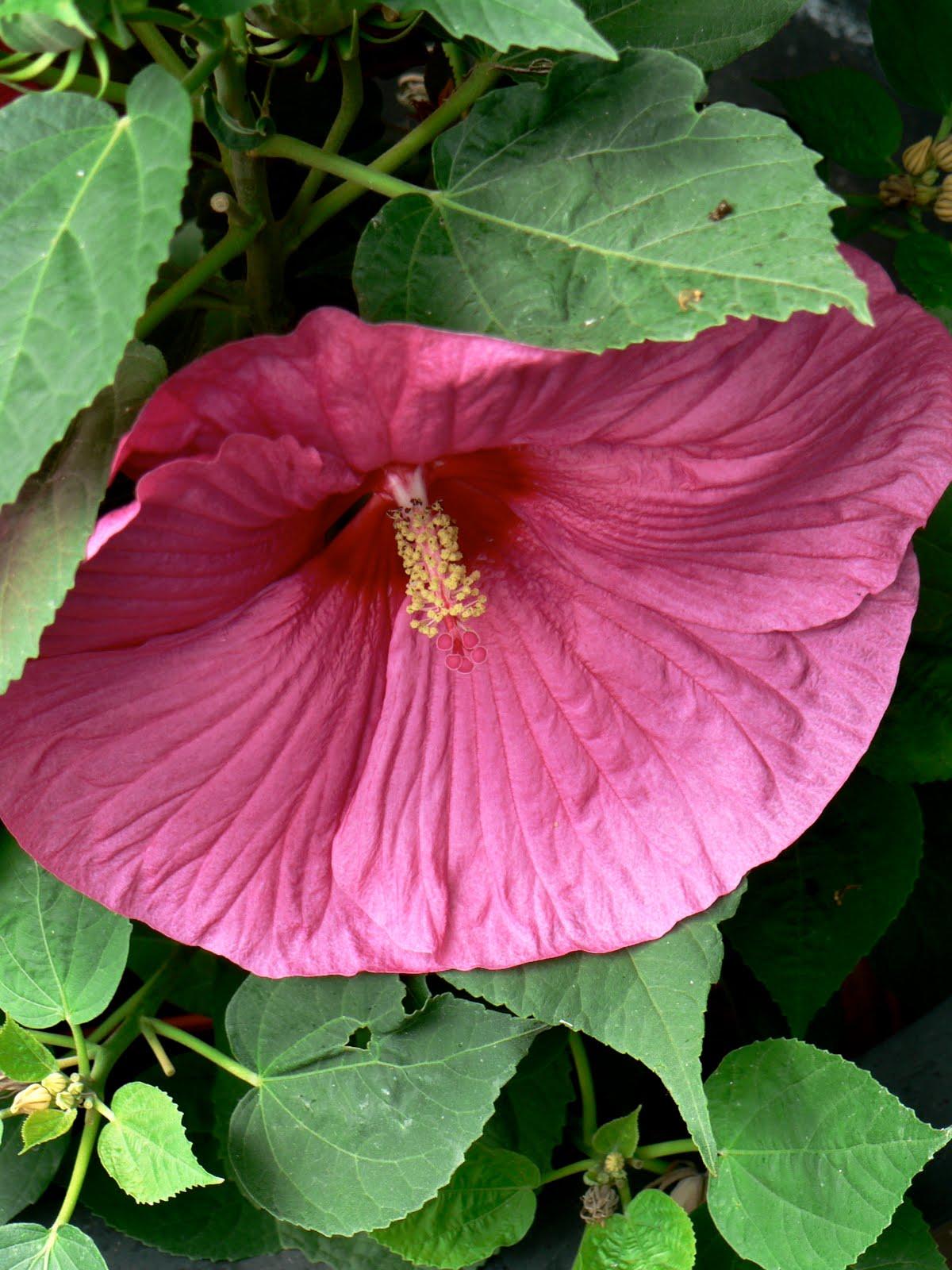 La route des livres hibiscus extravagantus - Comment entretenir un hibiscus ...