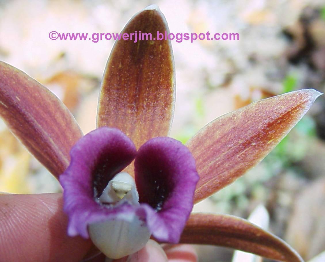 Nun%2Bin%2BPhaius%2B C girl penetrates guy sex stories nuns orchids phaius orchids